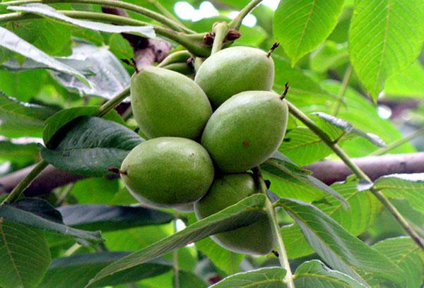 Плоды на ветке маньчжурского ореха