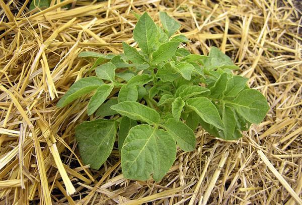 Картофельный куст на соломе