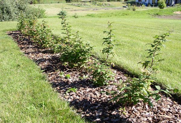Сроки посадки малины осенью