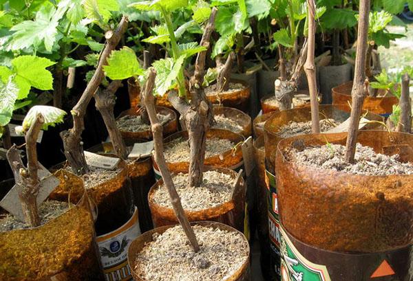 Укорененные черенки винограда
