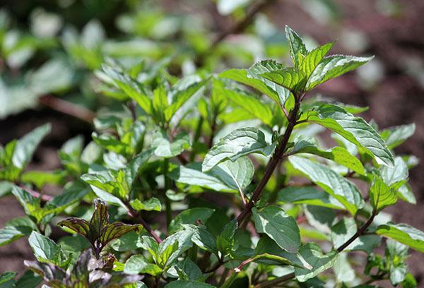 Бордюрные цветы и растения многолетники: фото в 45