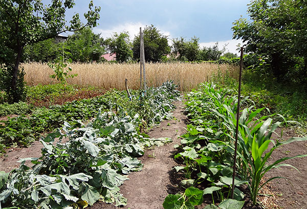 Огурцы рядом с кукурузой на грядке
