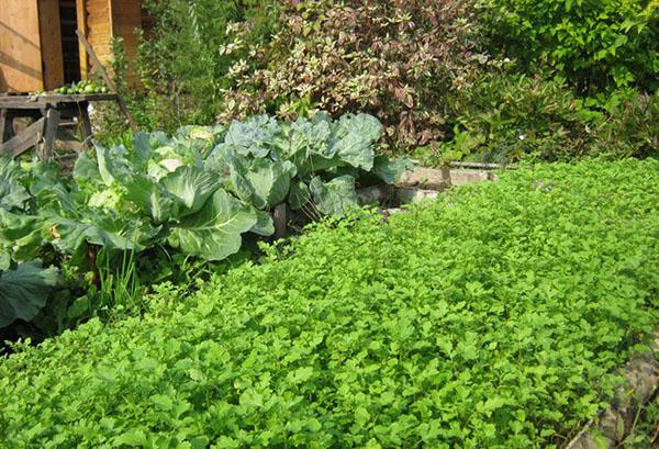 Горчица рядом с капустной грядкой