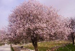 Миндальное дерево