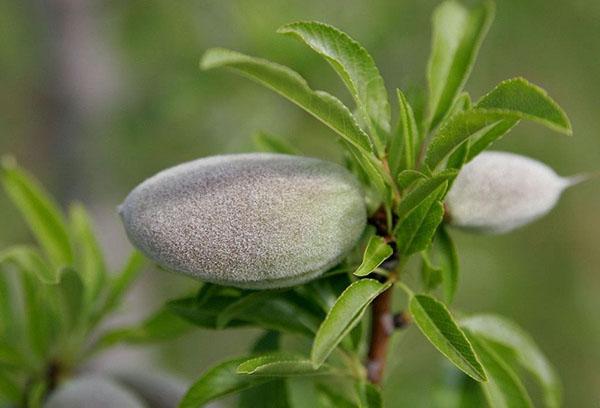 Плод миндаля