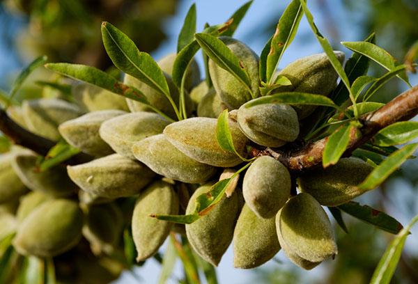 Плоды миндаля на ветке