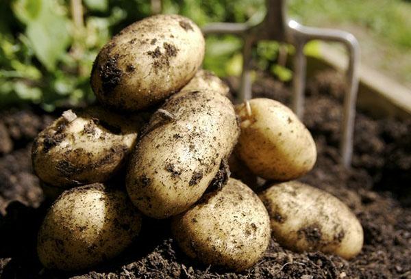 Выкопанные клубни картофеля