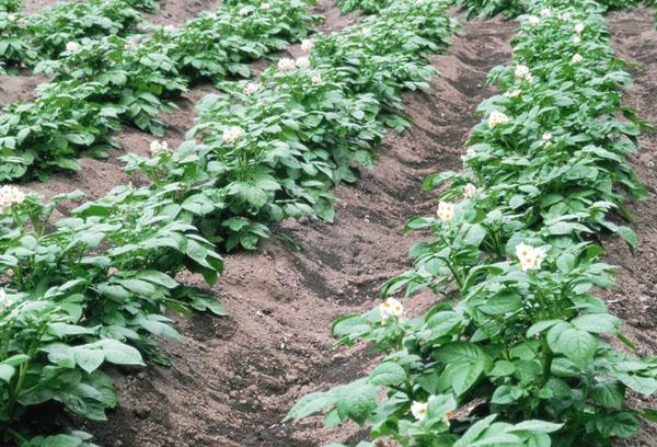 Грядки картофеля