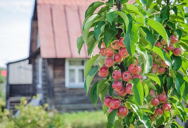 Колоновидная яблоня на даче
