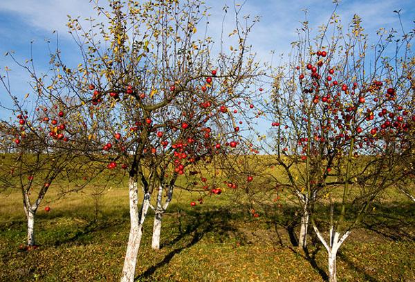 Молодые яблони осенью