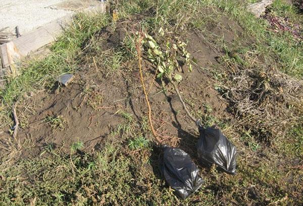 Посадка груши весной саженцами – секреты и правила
