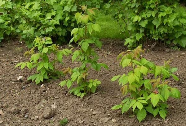 Посадка малины весной саженцами - советы и правила
