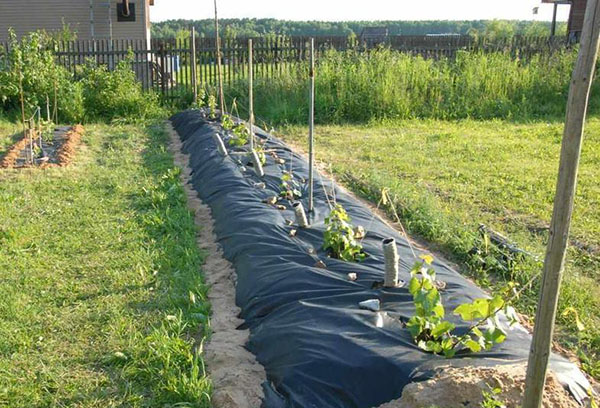 Подготовка виноградника