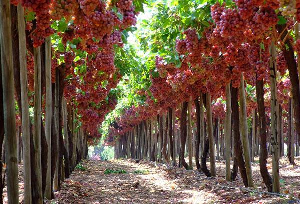 Плодоношение винограда