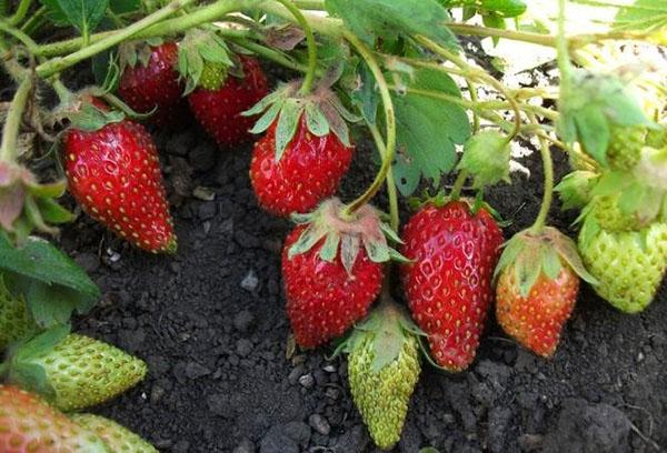 Ягоды садовой земляники