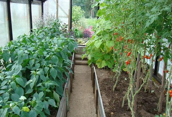 Перцы и томаты в теплице
