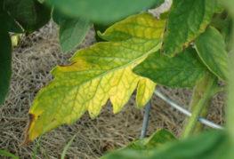 Желтый лист томата