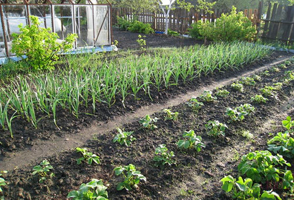 Лук рядом с картофелем на огороде