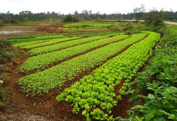 Салат и корнеплоды на огороде
