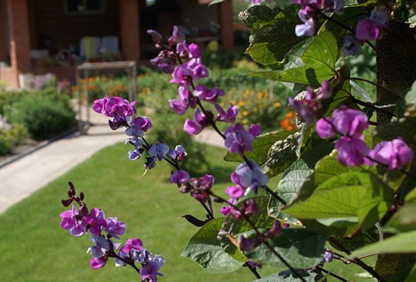 Декоративная фасоль фиолетовая