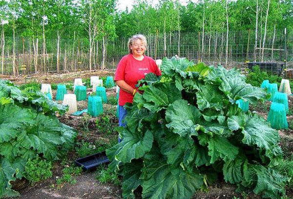 Посадка ревеня и уход в открытом грунте при выращивании на даче