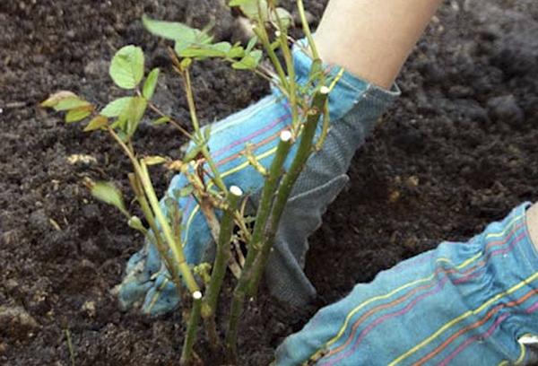 Шиповник: посадка и уход при выращивании в открытом грунте