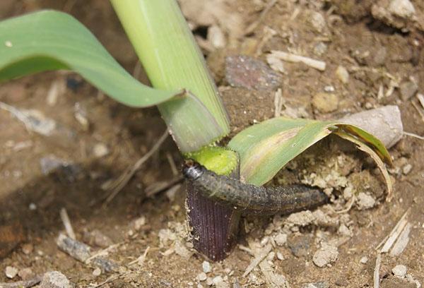 Чернушка: посадка и уход в открытом грунте, выращивание лука
