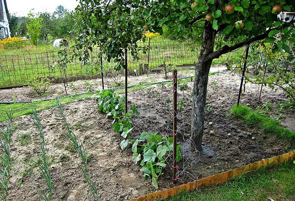 Огурцы под яблоней