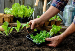 Высадка салата рассадой
