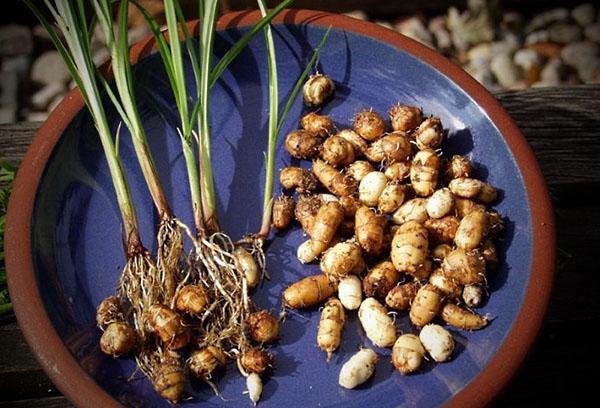 Урожай земляного миндаля