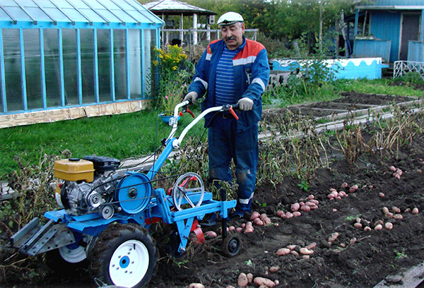 Уборка урожая картофеля мотоблоком