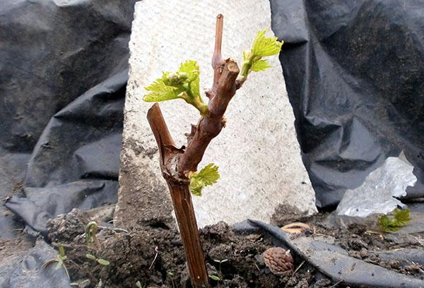Вегетирующий черенок винограда