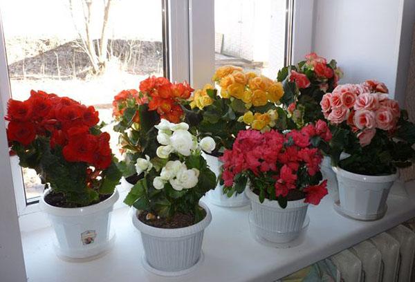 Сорта Begonia elatior