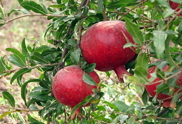 Плоды граната