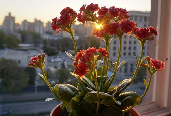 Цветение каланхоэ на подоконнике