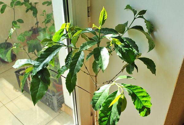 Кофейное деревце в интерьере