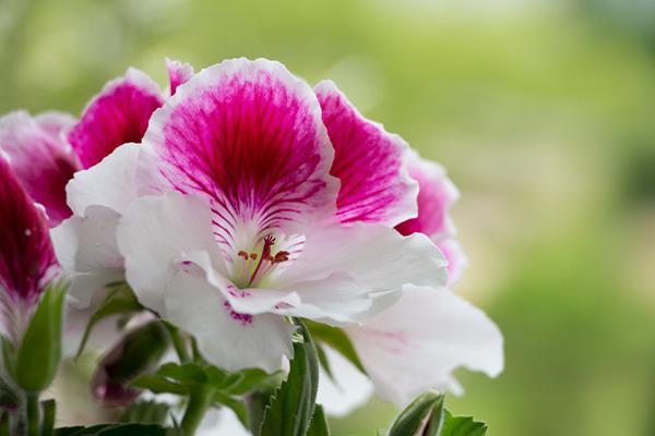 Цветок королевской пеларгонии