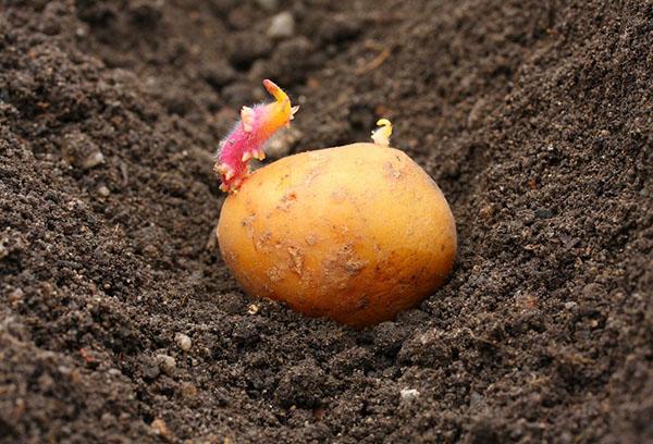 Росток на клубне картофеля