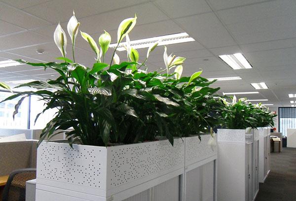 Спатифиллумы в офисе
