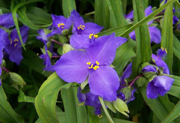 Цветок садовой традесканции