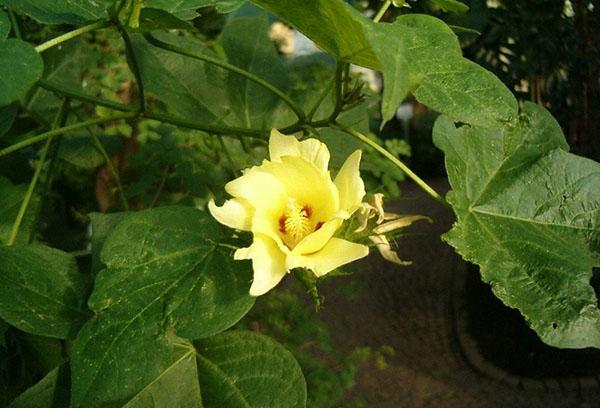 Желтый цветок хлопчатника