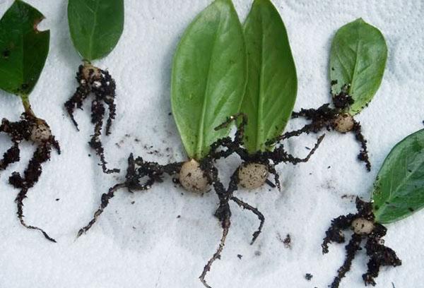 Размножение замиокулькаса листовыми пластинами