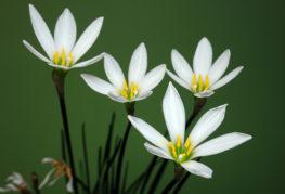 Белые зефирантесы