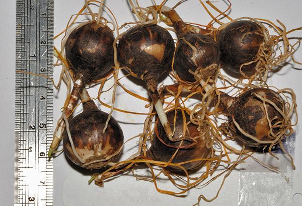 Луковицы зефирантеса