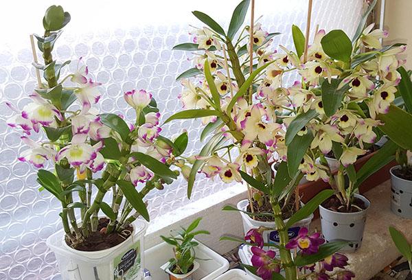 Орхидеи дендробиум нобиле на подоконнике