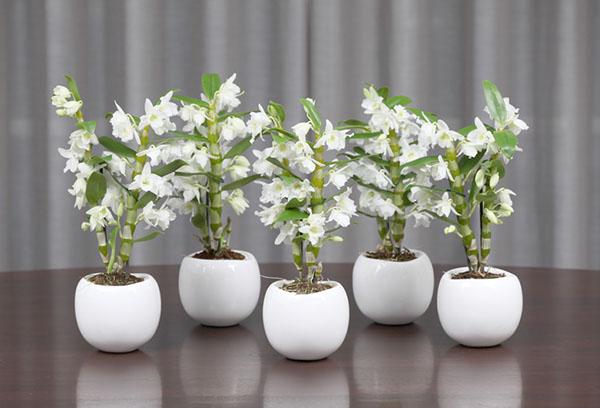 Горшки с орхидеями дендробиум нобиле