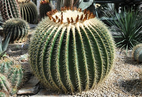 Эхинокактус в природе