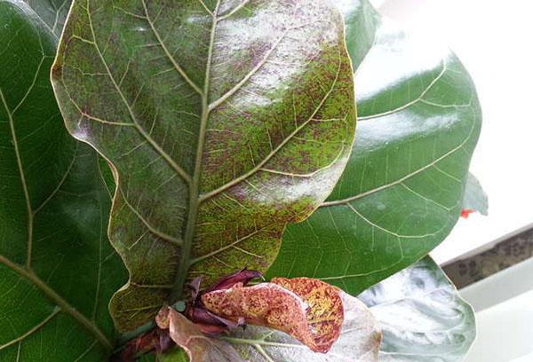 Пятна на листьях лировидного фикуса