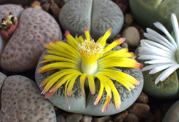 Цветущий литопс