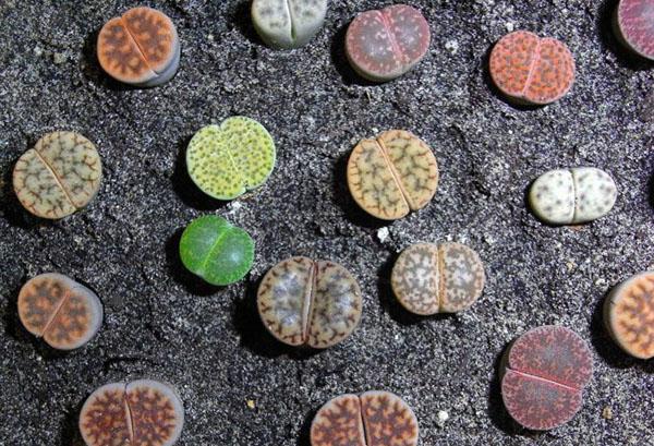 Разные виды литопсов